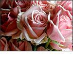 Olympus SP-560 UZ - Birthday roses