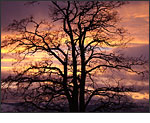 Sony Cybershot DSC-H50 - Black Locust Tree at Sunset by Patia Stephens