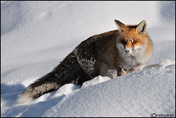 Fox In Snow -by carlogalliani