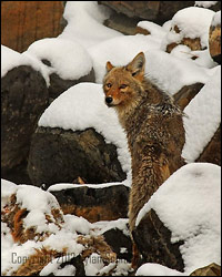 Coyote Bonanza Photos - by Dylan8i