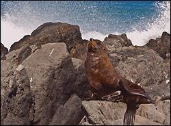 New Zealand Fur Seal  by - hminx