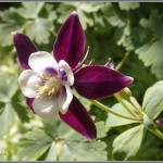 Columbine Macro 1 - Olympus Tough TG-1 - ISO 100