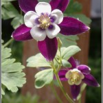 Columbine Macro 1 - Olympus Tough TG-1 - ISO 200