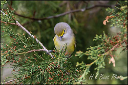 White eyed Vireo - by hb1944