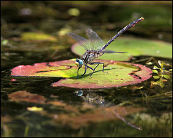 Lilypad Clubtail - by Mike T