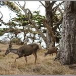 Sony RX1 - Pt. Lobos Deer