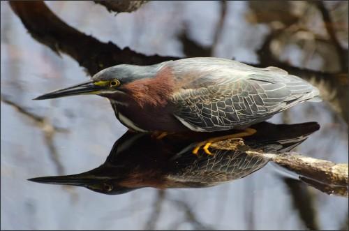 Green Heron Fishing by wfooshee