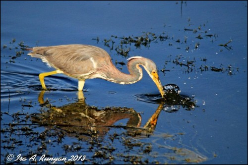 Tri-colored Heron - Fishing Technique by Ira Runyan