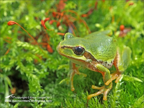 Pacific Tree Frog by Ecooper