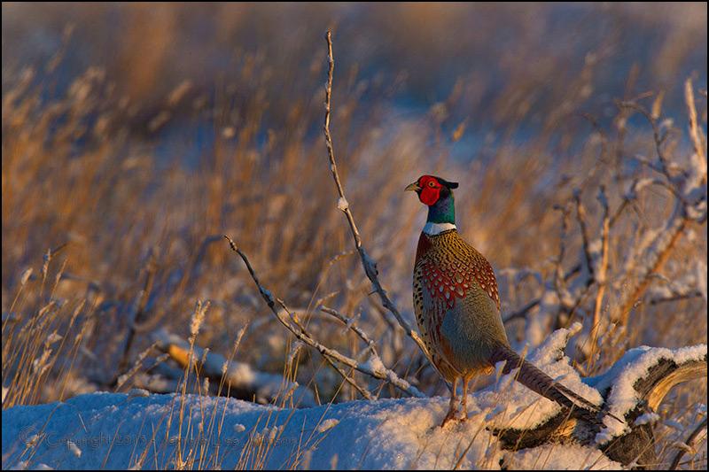 """Early Morning Pheasant"" by jaimej26"