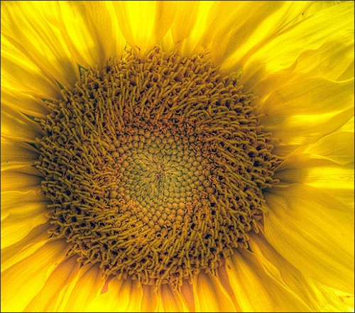 Sunflower Eye by arne saknussen