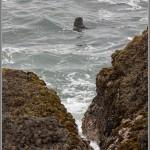 Sea Otter - Point Lobos - Big Sur