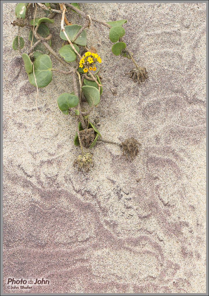Purple Sand & Yellow Sand Verbena - Pfeiffer Beach - Big Sur