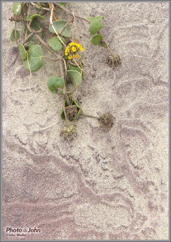 Purple Sand & Yellow Sand Verbena - Pfeiffer Beach - Big Sur