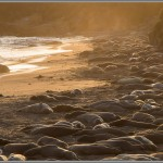 Elephant Seals On The Beach At Sunset