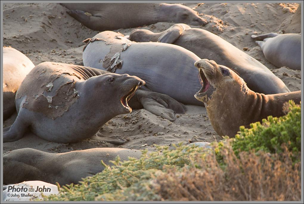 Elephant Seals - Piedras Blancas Elephant Seal Rookery