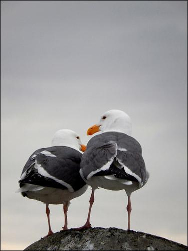 """Seagulls"" by patia"