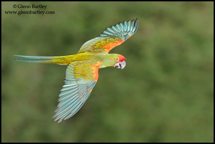 """""""Red-fronted Macaw (Bolivia)"""" by Glenn Bartley"""