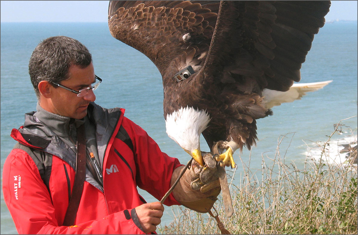 M. Travers & Eagle With GoPro Camera On Its Back