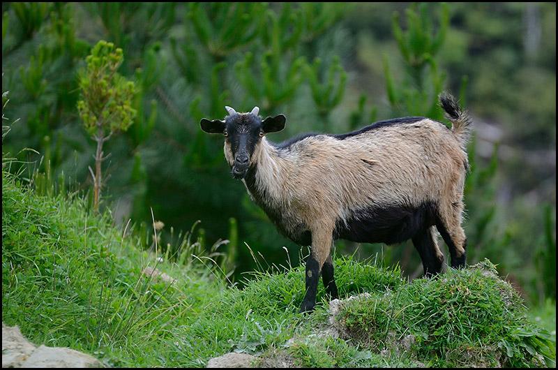 """Feral Goat"" by hminx"