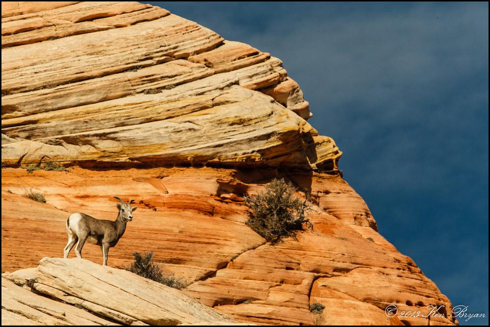 """""""Bighorns at Zion """" by ksbryan0"""